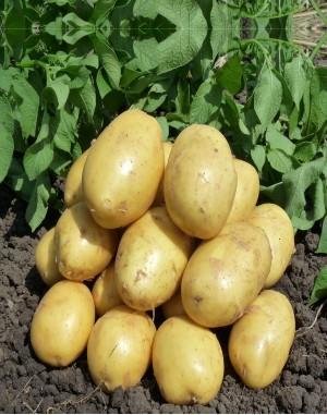 Семенной картофель Маверик,  IPM Potato