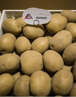 Семенной картофель Воларе, Agrico