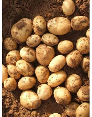 Семенной картофель Электра,  IPM Potato