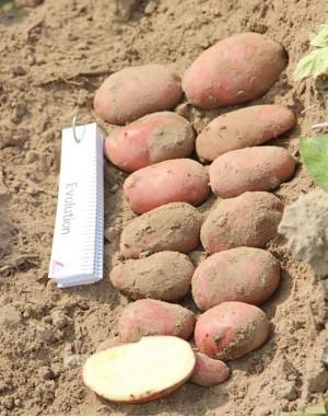 Семенной картофель Эволюшн, Agrico