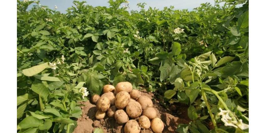 Посадка и хранение семенного картофеля