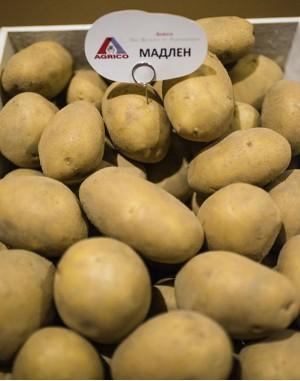 Семенной картофель Мадлен, Agrico