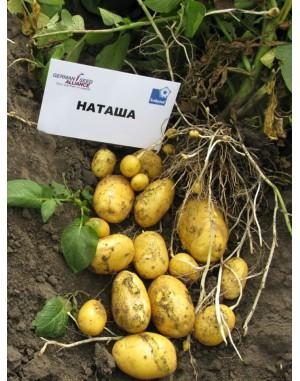 Семенной картофель Наталия, Solana