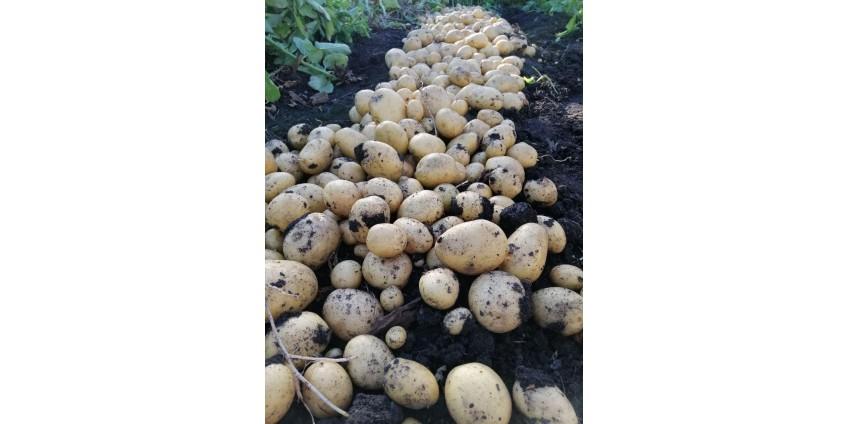 Парша на семенном картофеле – причины появления и последствия