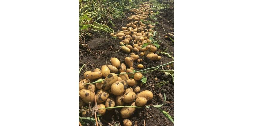 Семенной картофель Королева Анна - урожай 2020!
