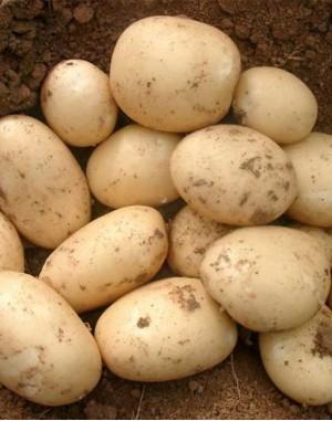 Семенной картофель Орла,  IPM Potato