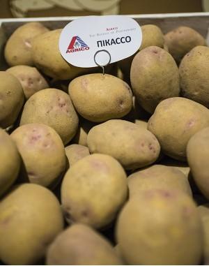 Семенной картофель Пикассо, Agrico