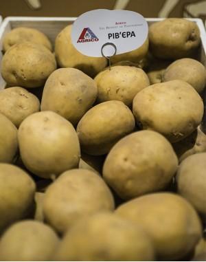 Семенной картофель Ривьера, Agrico