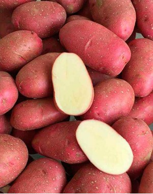 Семенной картофель Торнадо,  IPM Potato